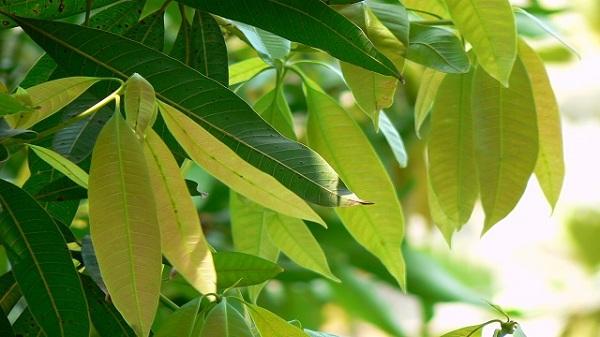 Sản phẩm nhựa sinh học chiết xuất từ lá xoài